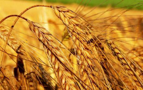 Buğday da Yüksek Verim İçin Doğru Ekim Teknikleri